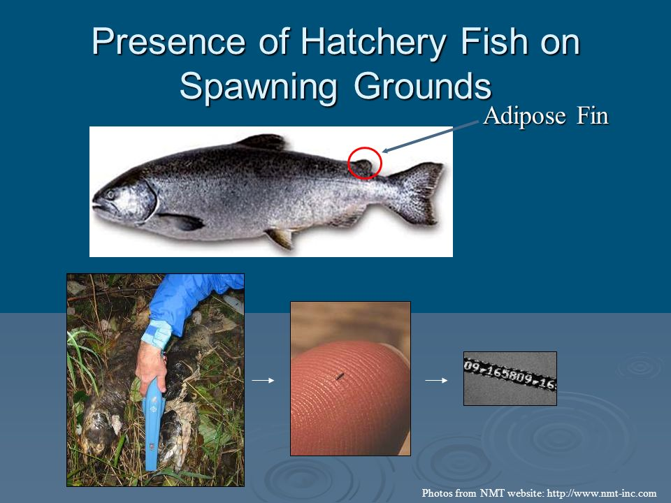 Presence of Hatchery Fish on Spawning Grounds