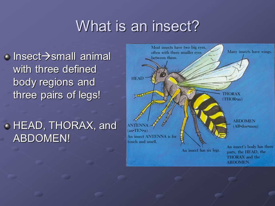 What is an insect. Insectsmall animal with three defined body regions and three pairs of legs.