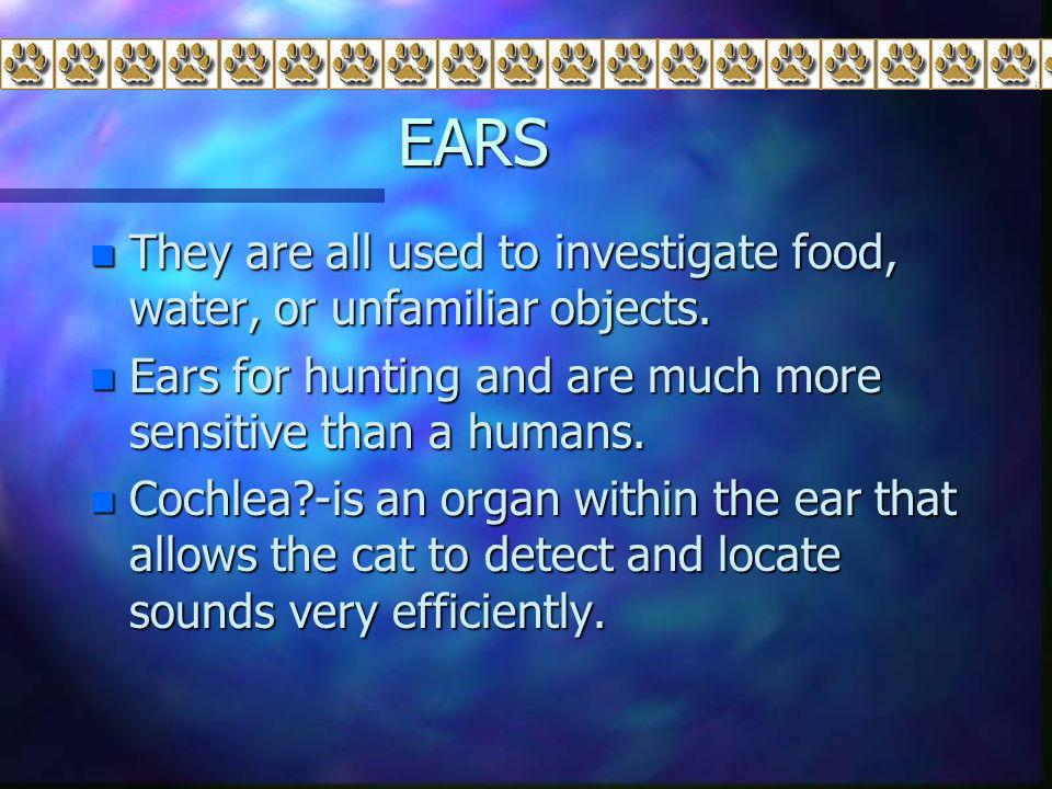 EARS They are all used to investigate food, water, or unfamiliar objects. Ears for hunting and are much more sensitive than a humans.