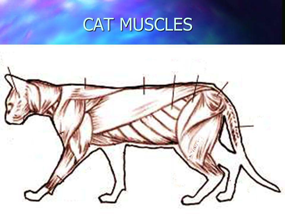 CAT MUSCLES