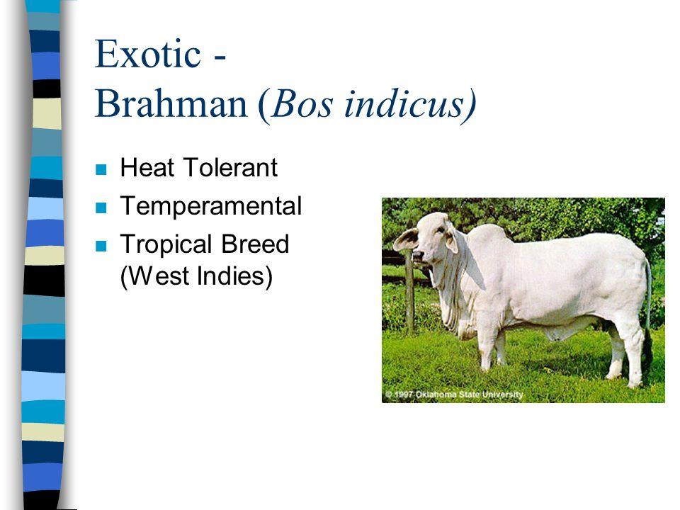Exotic - Brahman (Bos indicus)