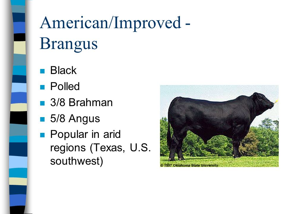 American/Improved - Brangus