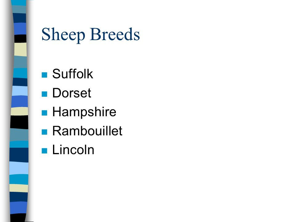 Sheep Breeds Suffolk Dorset Hampshire Rambouillet Lincoln