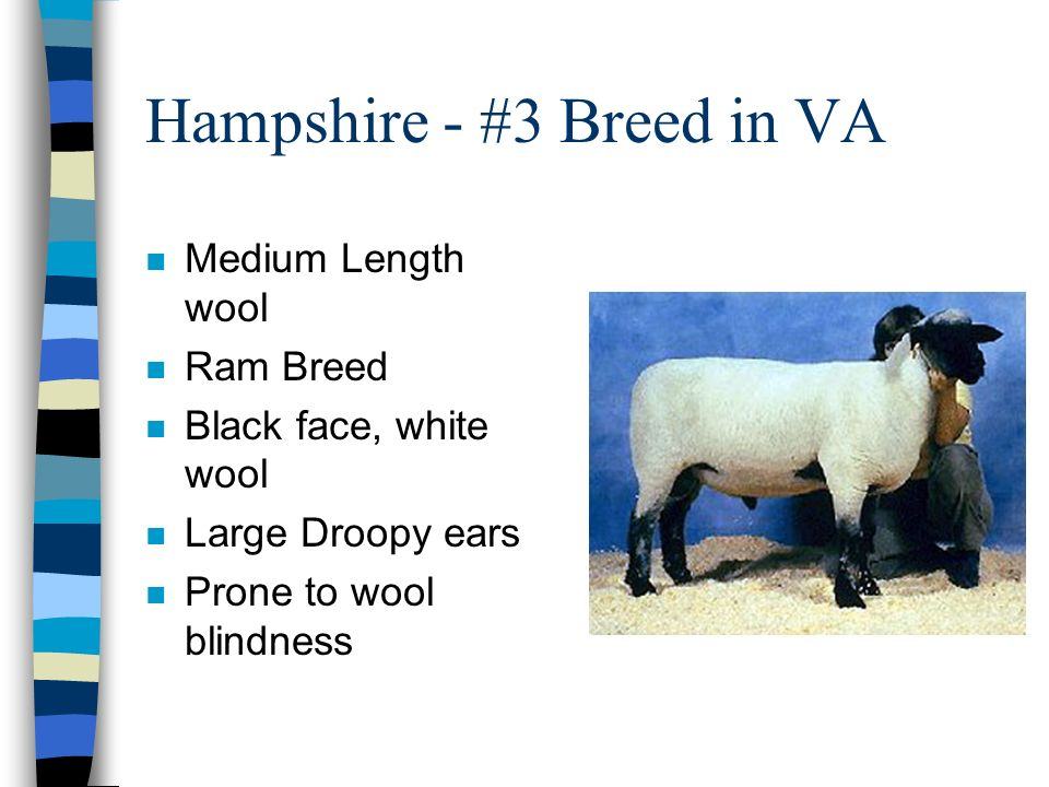 Hampshire - #3 Breed in VA