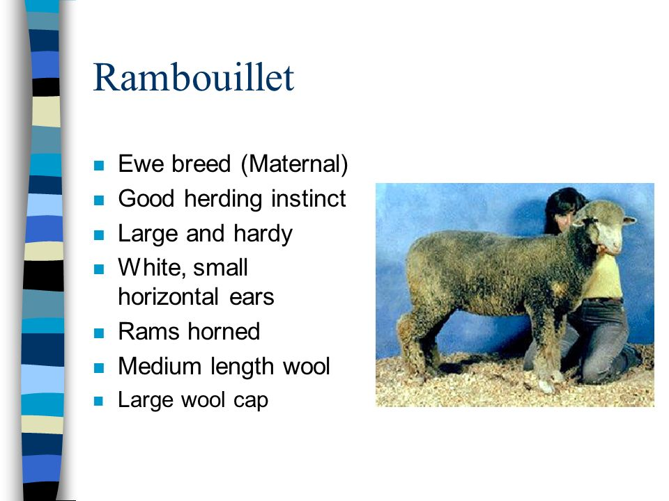 Rambouillet Ewe breed (Maternal) Good herding instinct Large and hardy