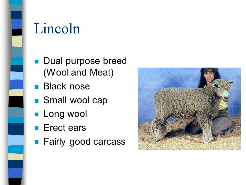 Lincoln Dual purpose breed (Wool and Meat) Black nose Small wool cap
