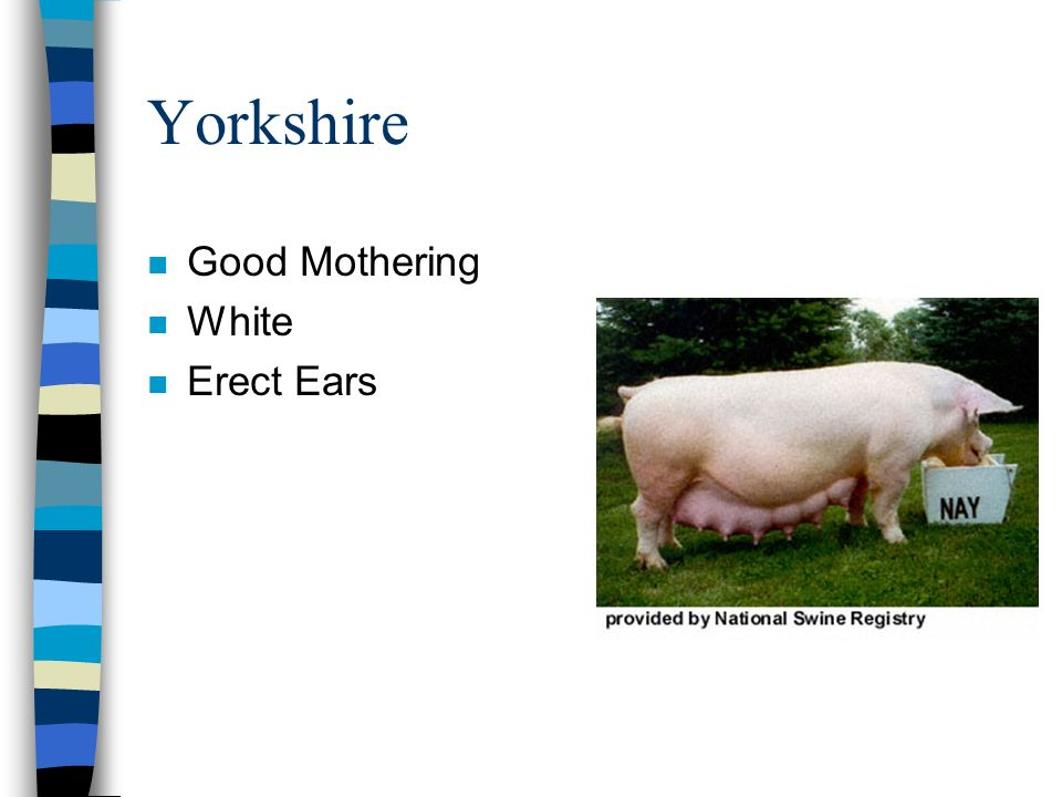 Yorkshire Good Mothering White Erect Ears