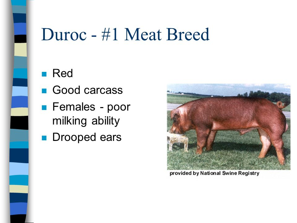Duroc - #1 Meat Breed Red Good carcass Females - poor milking ability