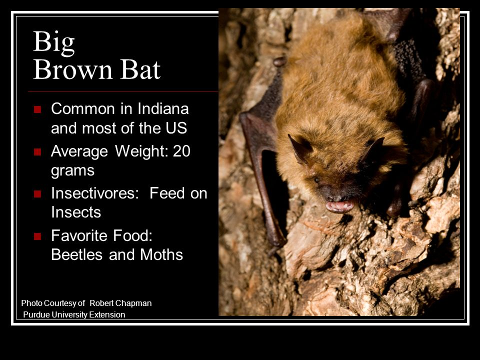Big Brown Bat Common in Indiana and most of the US