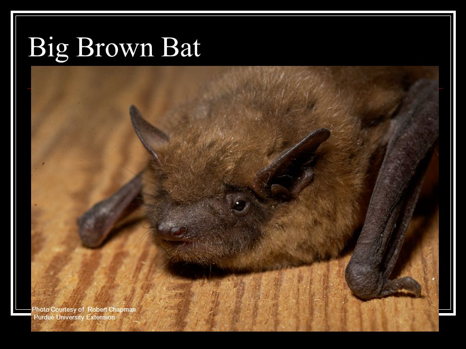 Big Brown Bat Photo Courtesy of Robert Chapman