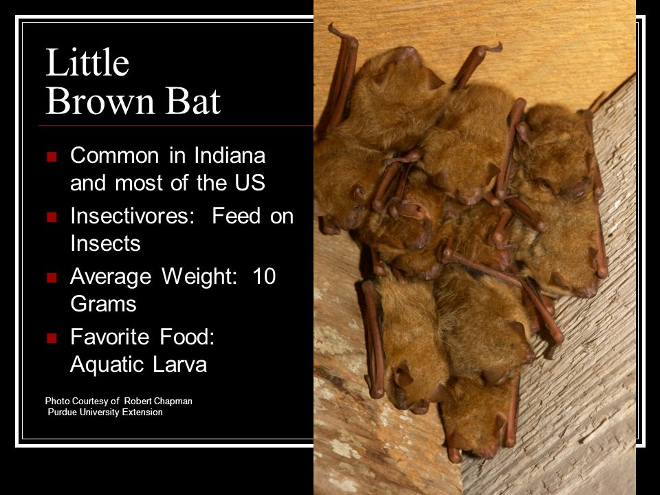 Little Brown Bat Common in Indiana and most of the US