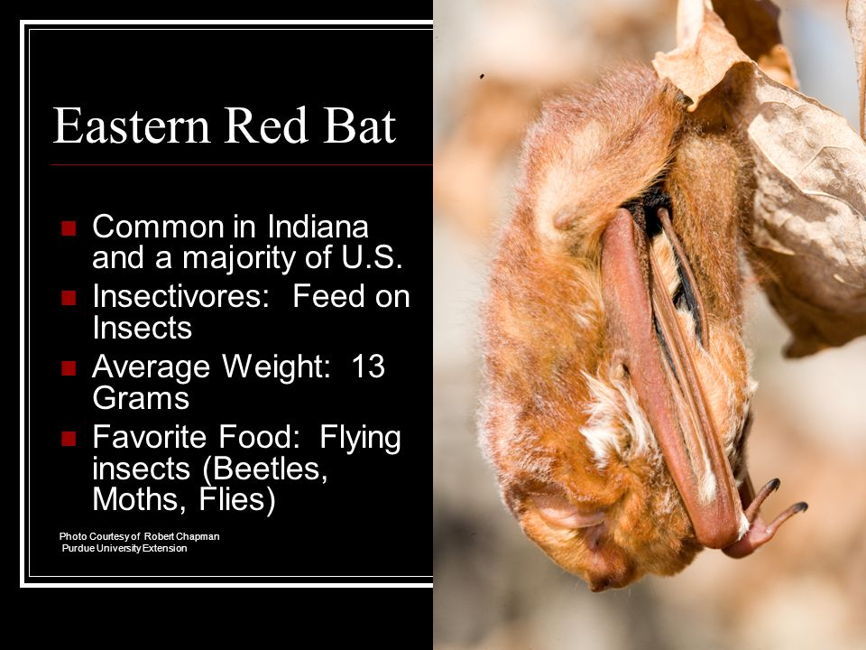 Eastern Red Bat Common in Indiana and a majority of U.S.
