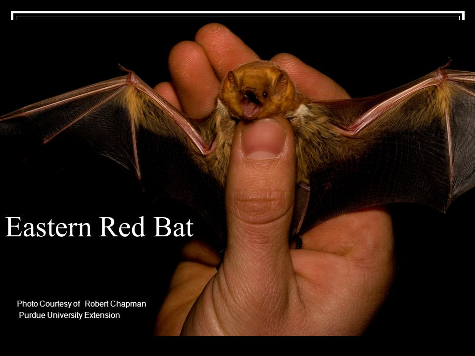 Eastern Red Bat Photo Courtesy of Robert Chapman