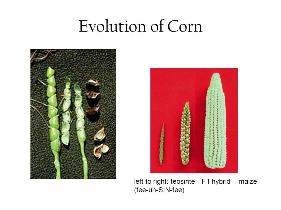 Evolution of Corn left to right: teosinte - F1 hybrid – maize