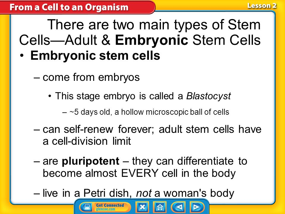 There are two main types of Stem Cells—Adult & Embryonic Stem Cells