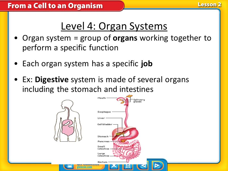 Level 4: Organ Systems Organ system = group of organs working together to perform a specific function.