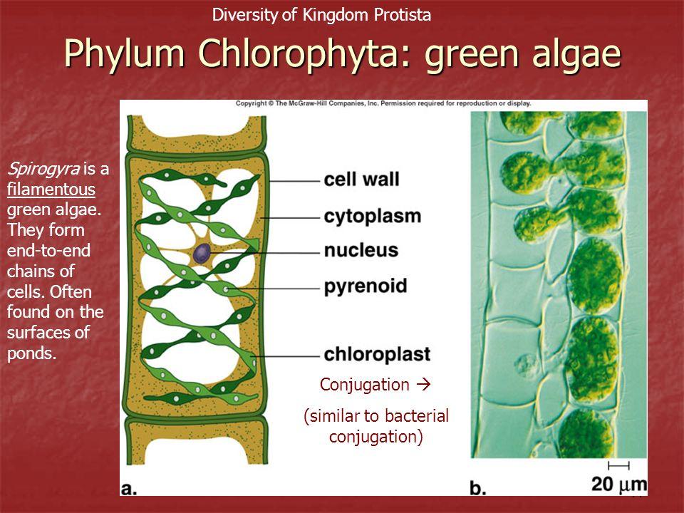 Phylum Chlorophyta: green algae