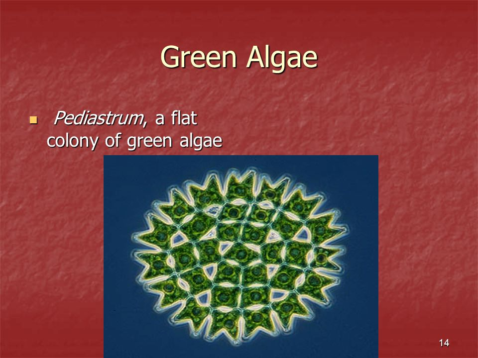 Green Algae Pediastrum, a flat colony of green algae