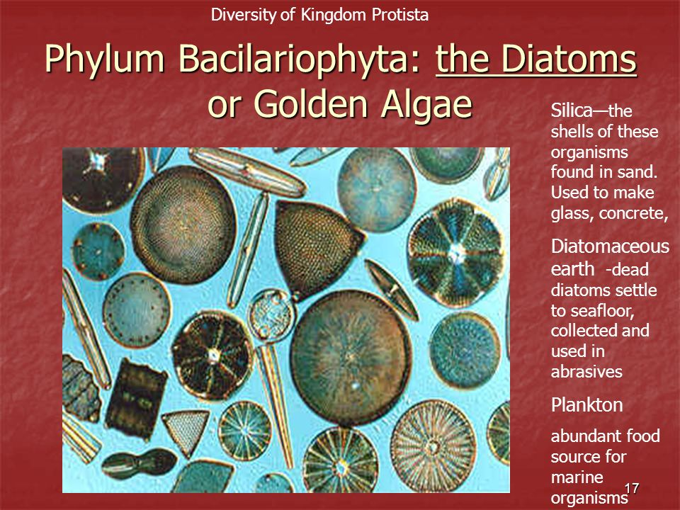 Phylum Bacilariophyta: the Diatoms or Golden Algae