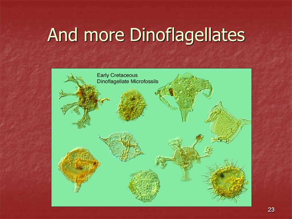 And more Dinoflagellates