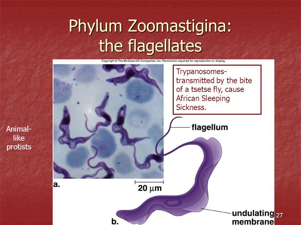 Phylum Zoomastigina: the flagellates