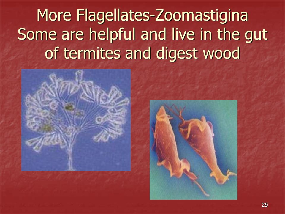 More Flagellates-Zoomastigina Some are helpful and live in the gut of termites and digest wood