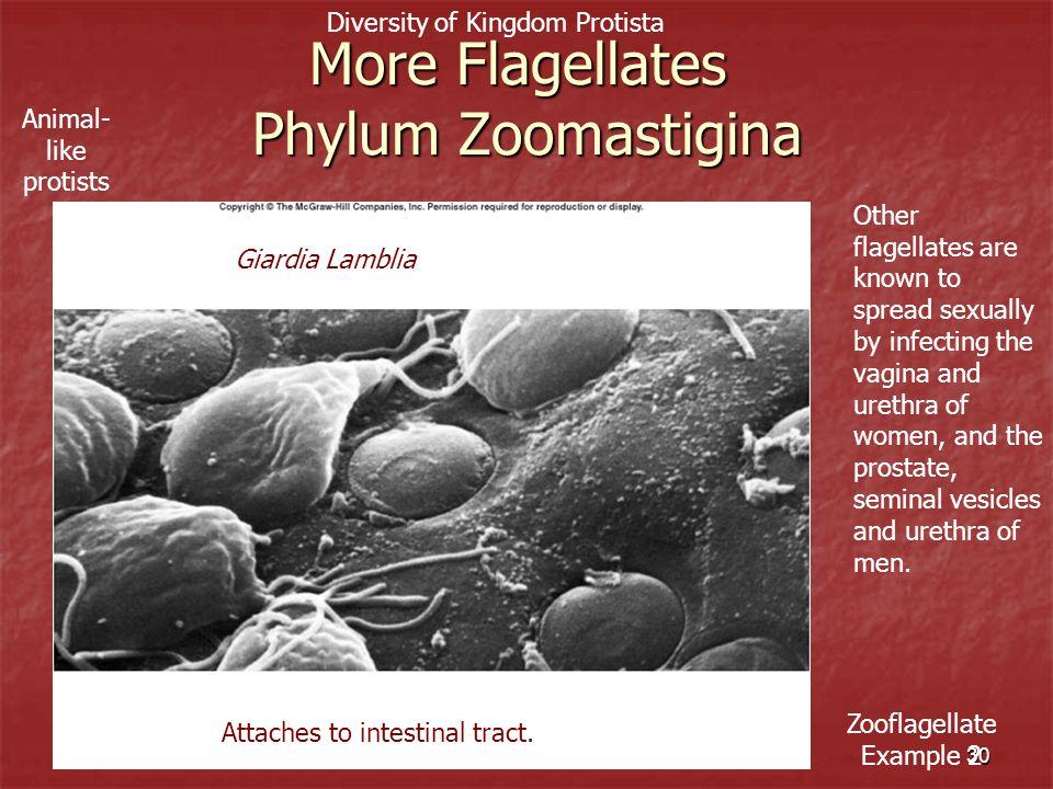 More Flagellates Phylum Zoomastigina