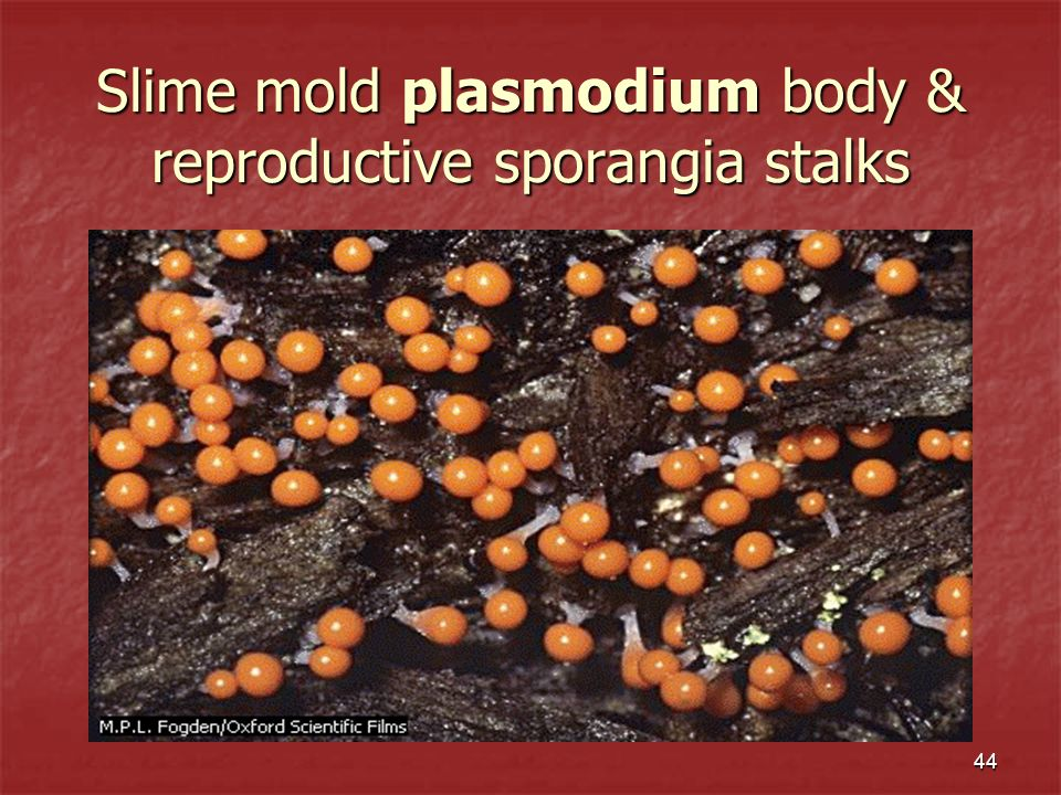 Slime mold plasmodium body & reproductive sporangia stalks