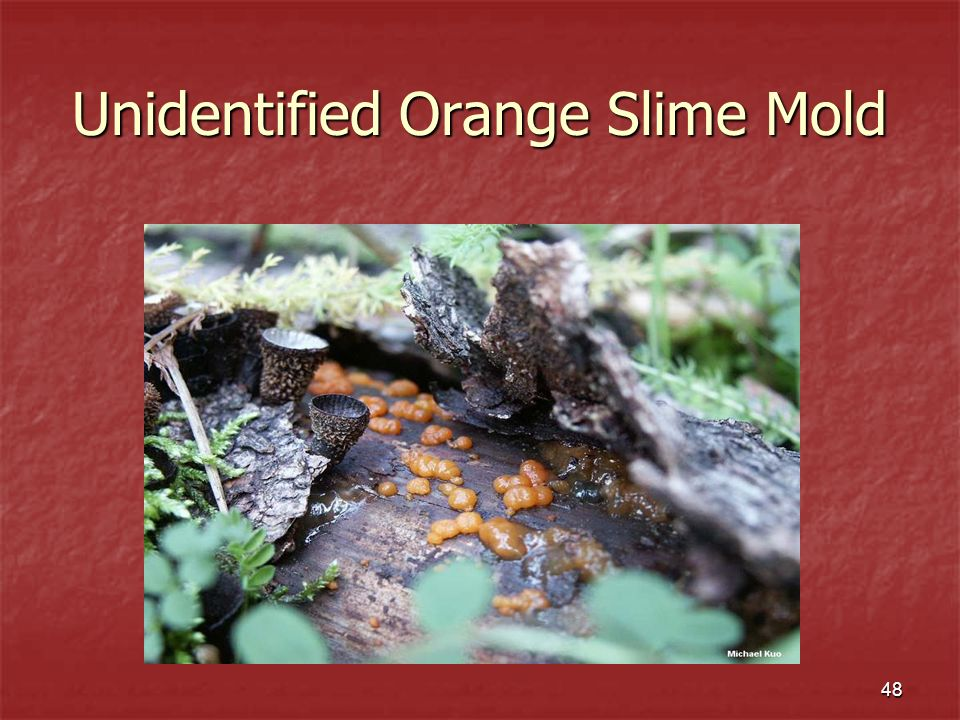 Unidentified Orange Slime Mold