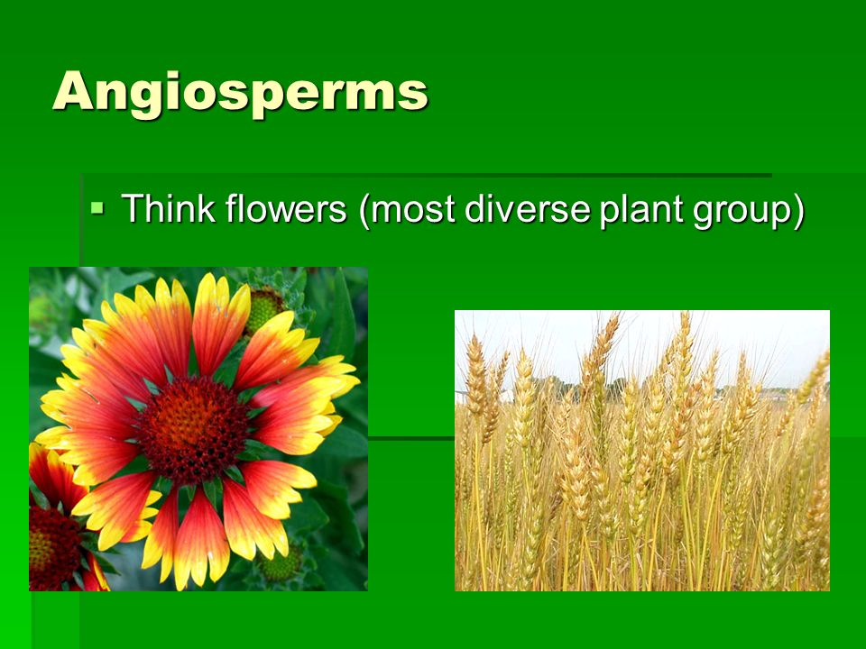 Angiosperms Think flowers (most diverse plant group)