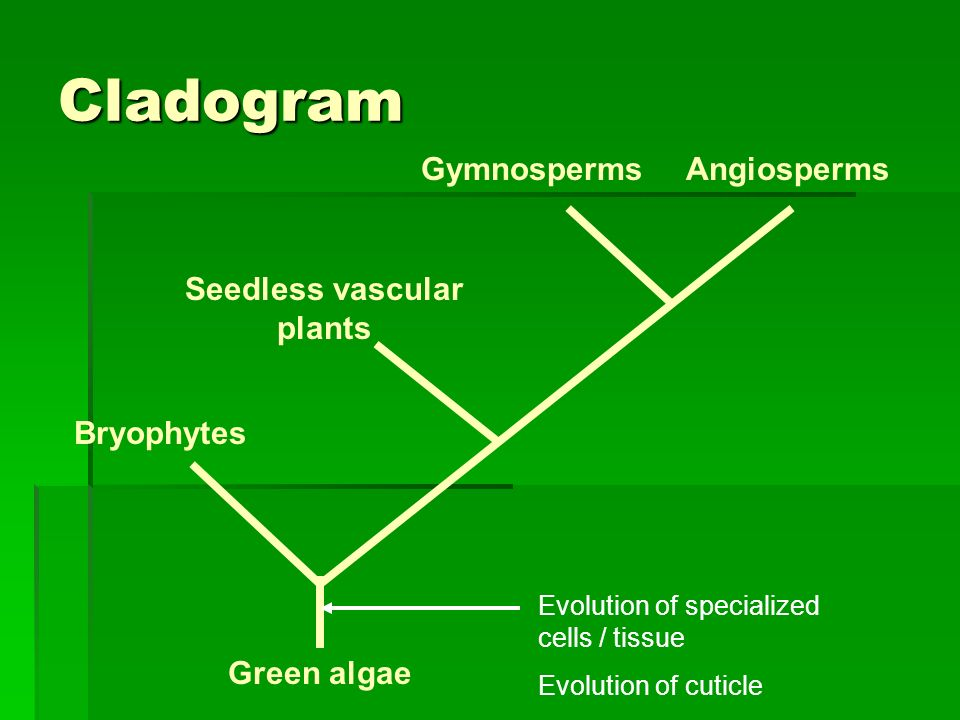 Seedless vascular plants