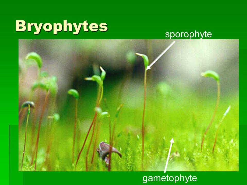 Bryophytes sporophyte gametophyte