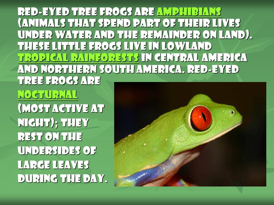 Red-Eyed Tree Frogs are amphibians (animals that spend part of their lives under water and the remainder on land). These little frogs live in lowland tropical rainforests in Central America and northern South America. Red-Eyed Tree Frogs are