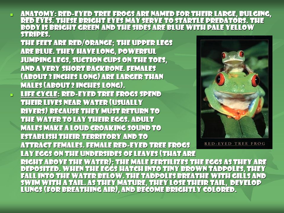 Anatomy: Red-Eyed Tree Frogs are named for their large, bulging, red eyes. These bright eyes may serve to startle predators. The body is bright green and the sides are blue with pale yellow stripes.