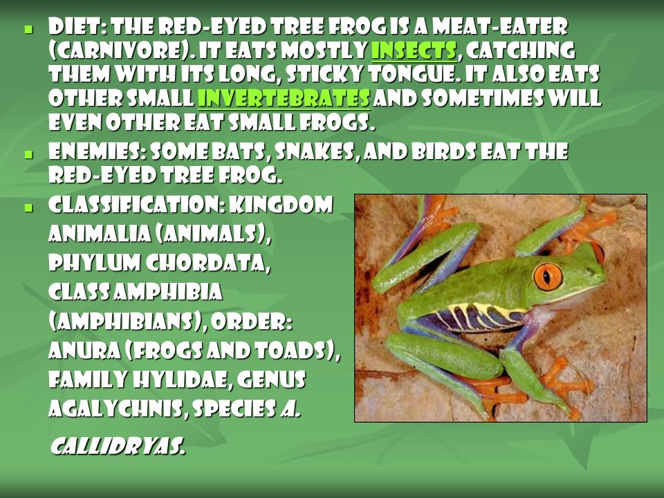 Diet: The Red-Eyed Tree Frog is a meat-eater (carnivore)