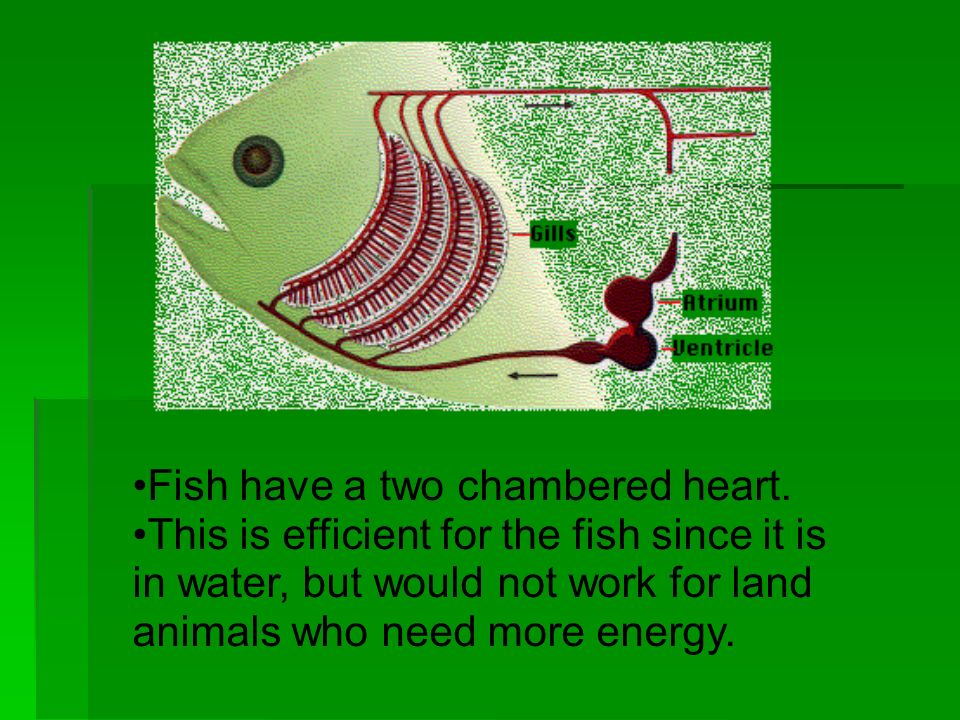 Fish have a two chambered heart.