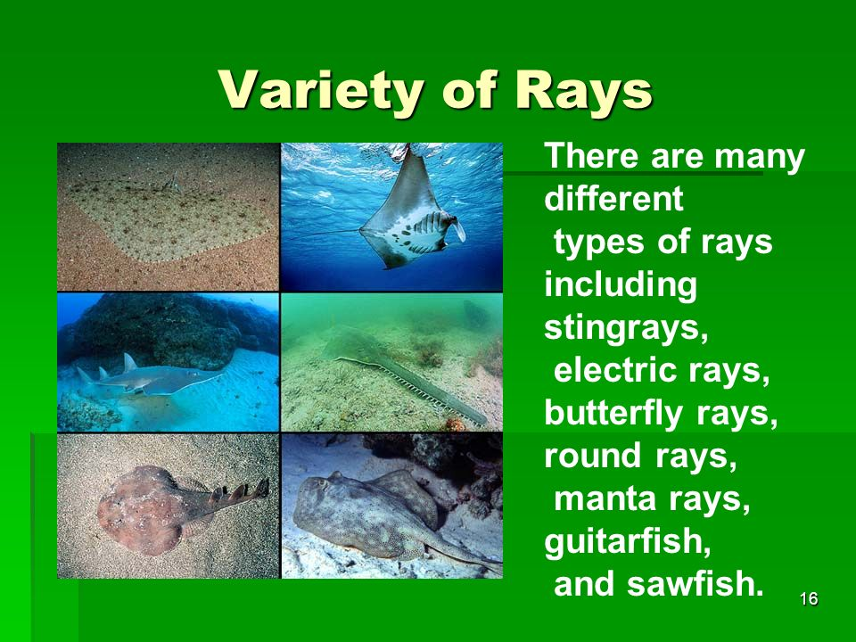 Variety of Rays There are many different types of rays including