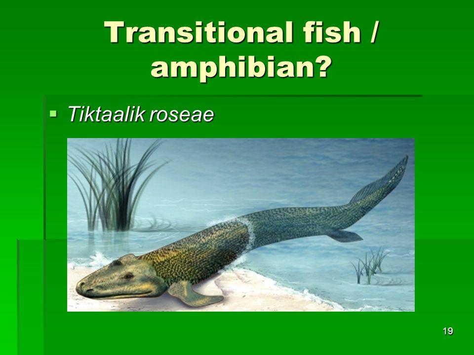 Transitional fish / amphibian