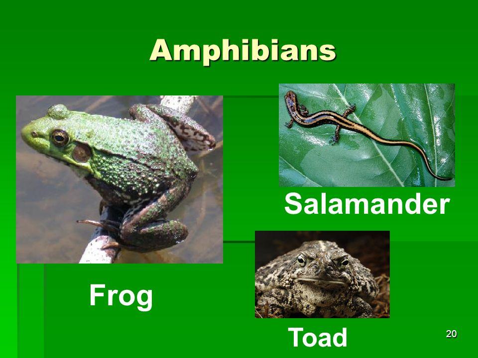 Amphibians Salamander Frog Toad