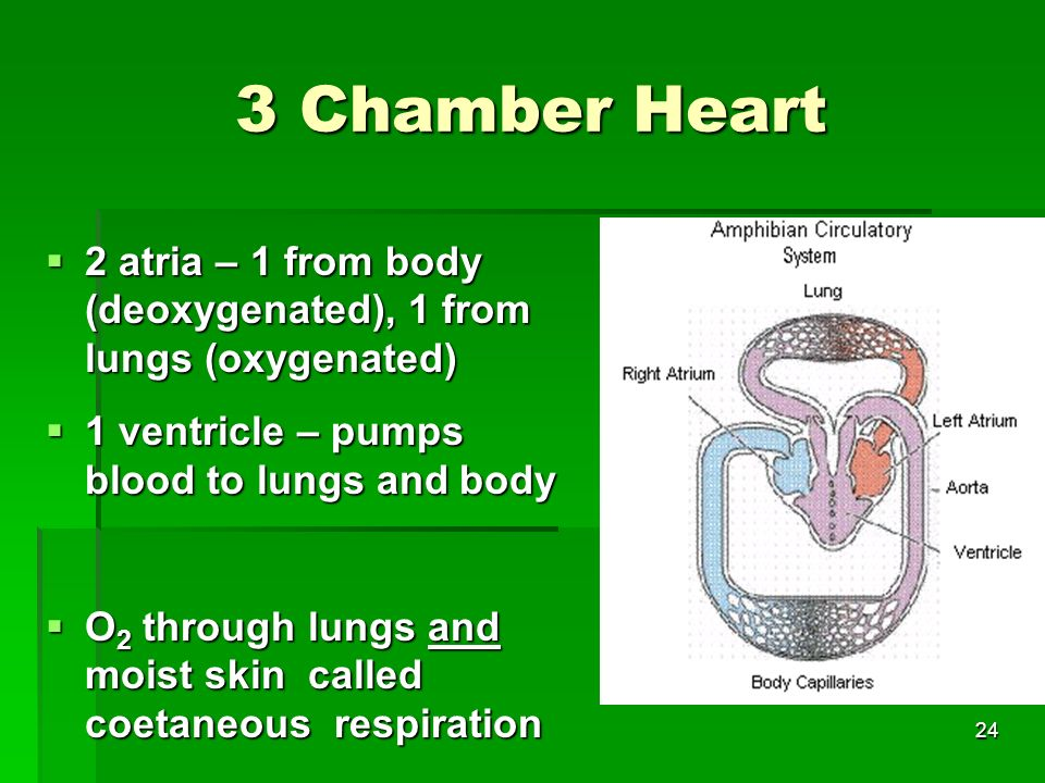 3 Chamber Heart 2 atria – 1 from body (deoxygenated), 1 from lungs (oxygenated) 1 ventricle – pumps blood to lungs and body.