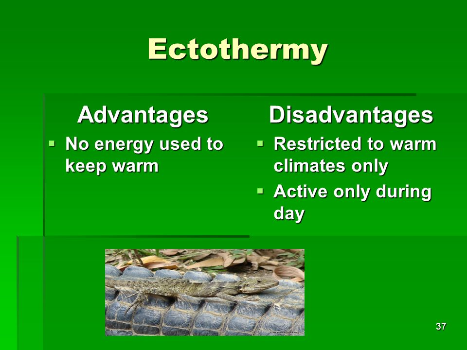 Ectothermy Advantages Disadvantages No energy used to keep warm