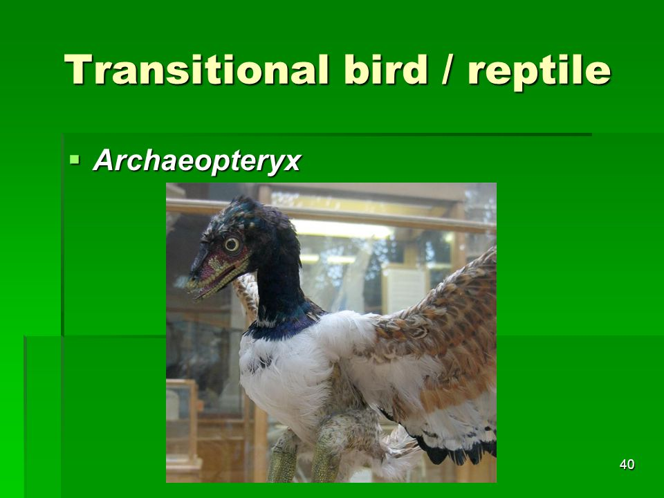 Transitional bird / reptile