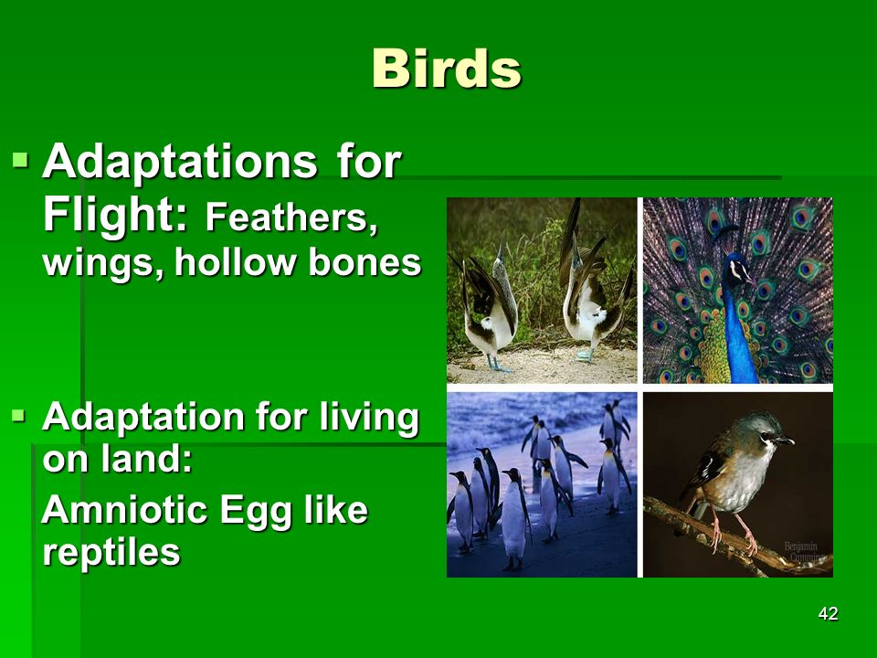 Birds Adaptations for Flight: Feathers, wings, hollow bones