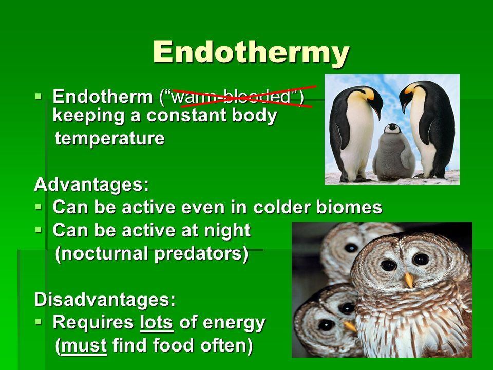 Endothermy Endotherm ( warm-blooded ) keeping a constant body