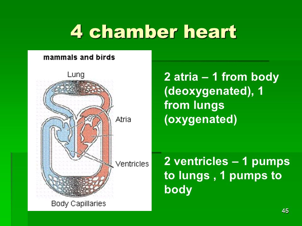 4 chamber heart 2 atria – 1 from body (deoxygenated), 1 from lungs (oxygenated) 2 ventricles – 1 pumps to lungs , 1 pumps to body.