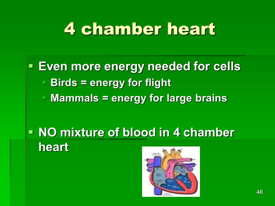 4 chamber heart Even more energy needed for cells