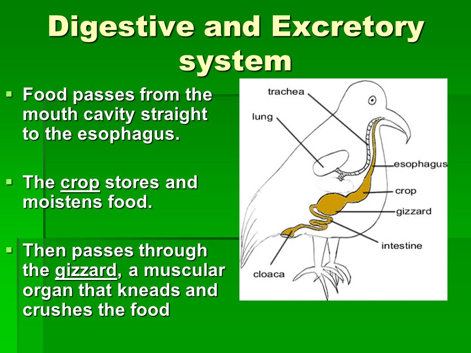 Digestive and Excretory system