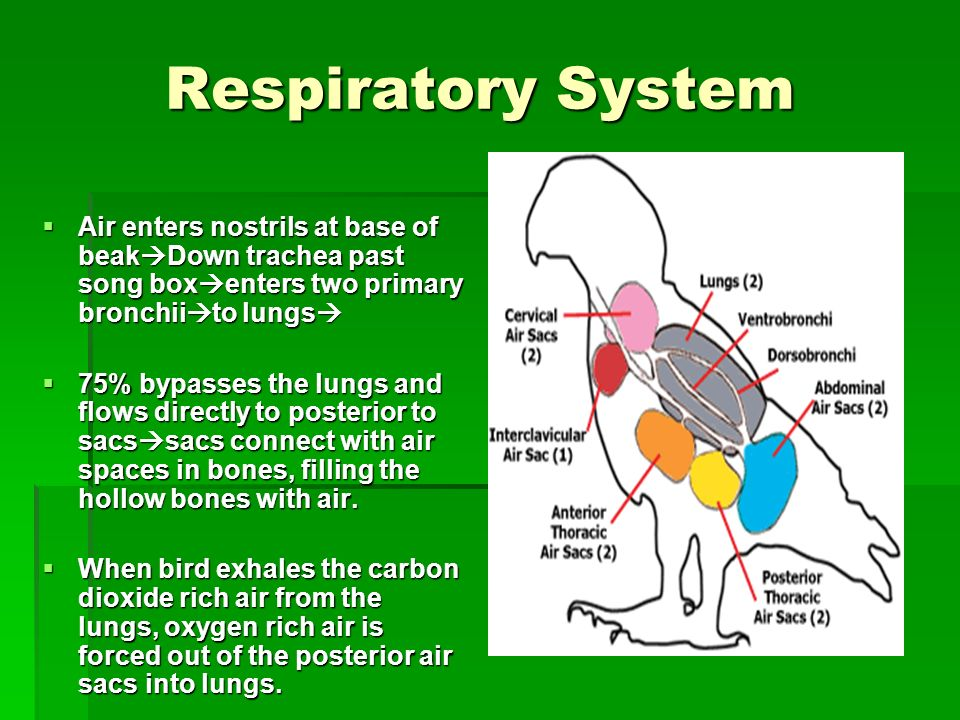 Respiratory System Air enters nostrils at base of beakDown trachea past song boxenters two primary bronchiito lungs
