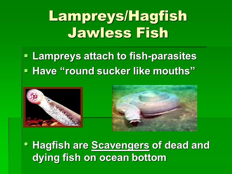 Lampreys/Hagfish Jawless Fish