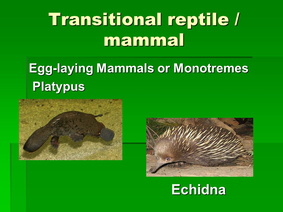 Transitional reptile / mammal
